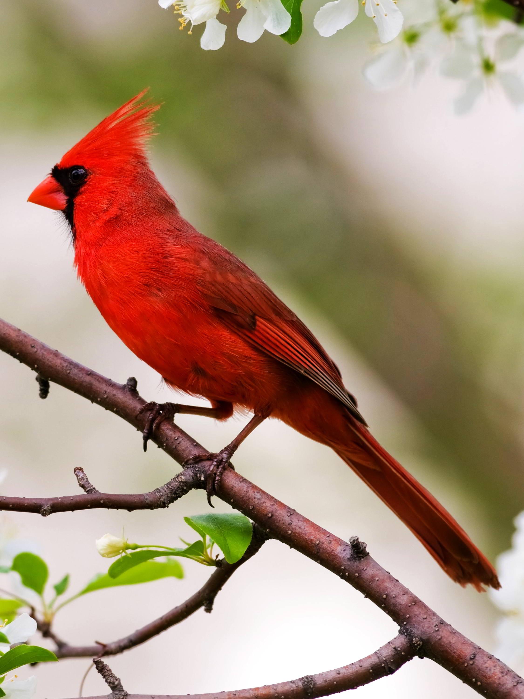 BIRDS OF NORTH CAROLINA +COMMON, +BACKYARD, +SHORE