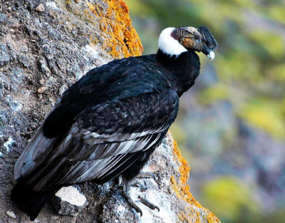 National Bird of Ecuador: Andes Condor