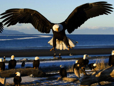 United States national bird: Bald Eagle