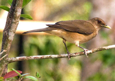 National Bird of Costa Rica: Clay Colored Robin
