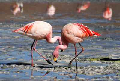 Bahamas National Bird: Greater Flamingo