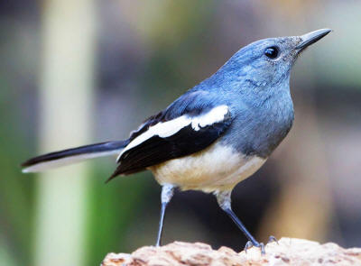 National Bird Bangladesh: Oriental Magpie Robin