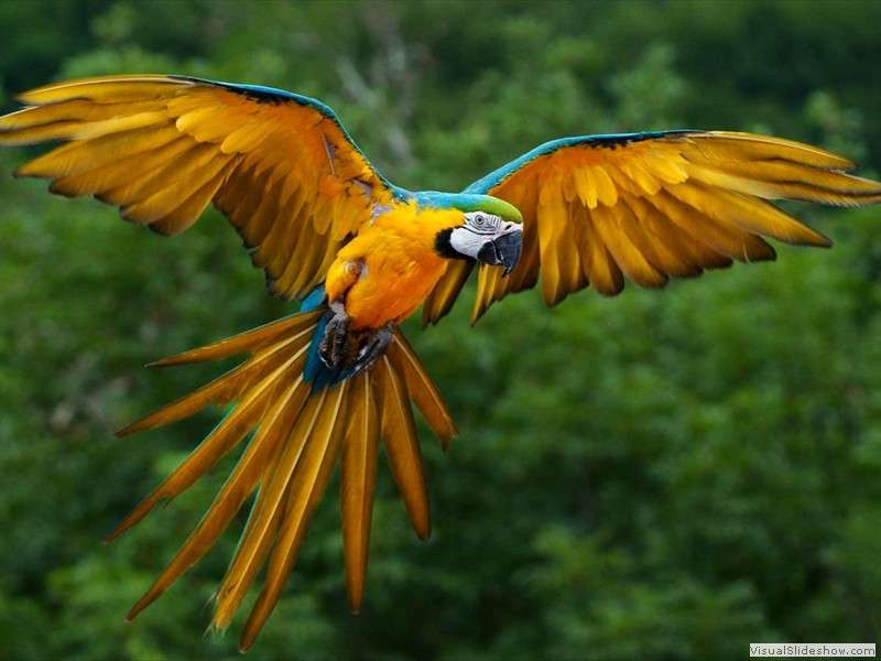 blue-and-yellow-macaw-in-flight